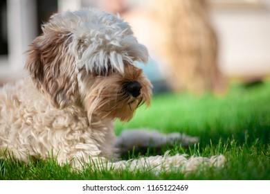 Cavapoo on grass in summer