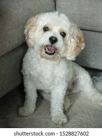 Cavapoo pup in living room against gray