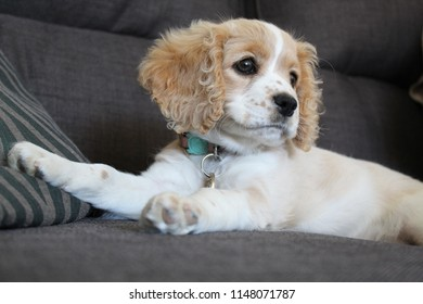 Cavapoo puppy dog
