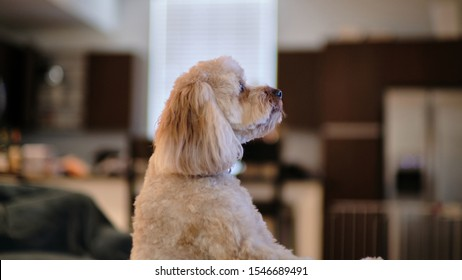 Cavapoo Puppy Dog Standing Profile View adorable