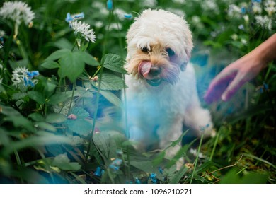 Cavapoo Puppy Licking Its Lips In Flower Patch