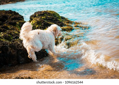 Cavapoo puppy playing in the sea