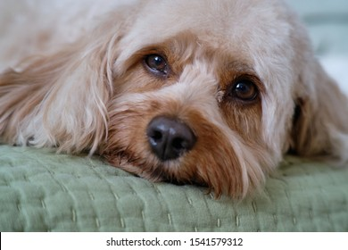 Cavapoo Puppy Portrait Close-up Sweet Dog