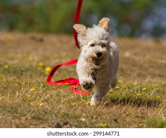 Cavapoo Puppy running.