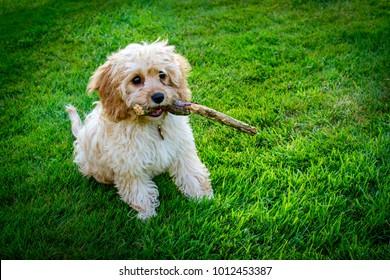 Cavapoo puppy with stick running on grass.