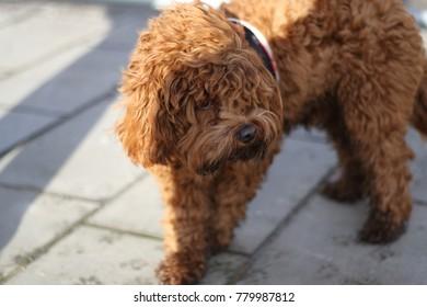 Cavapoo puppy teddy bear