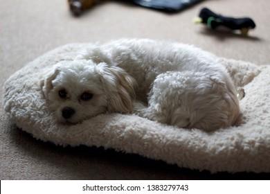 cavapoo sleeping on its bed