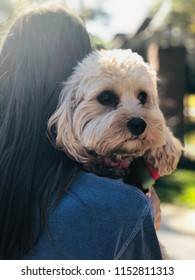 Cavapoo and woman