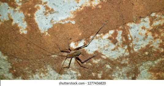 Cave crickets, also known as spider crickets due to the long antennae and legs are among the few inhabitants deep inside limestone caverns.