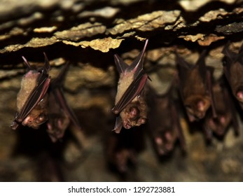 Cave dwelling bats hanging from the roof of a dark cave in a temple.