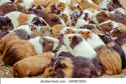 Cavia porcellus guinea pigs in big group in various color sitting on the ground in zoo