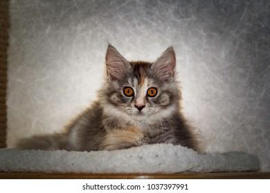 Caya! Maine coon Katzen Baby liegt .