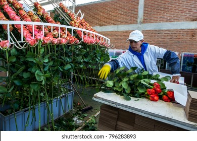 CAYAMBE, ECUADOR - APRIL 14, 2012 : A worker at the Hacienda La Compania Rose Plantation in Ecuador packs roses in the processing factory ready for worldwide export.