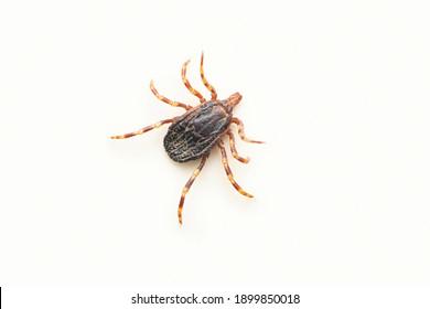 Cayenne tick, Amblyomma cajennense, Satara, Maharashtra, India
