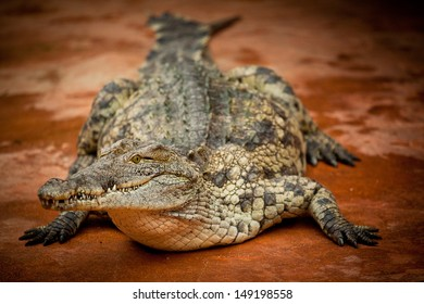 Cayman or crocodiles are animals from the ancient ages, they can live over 100 years and their cayman skin is often used for leather and making bags.
