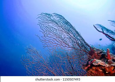 Cayman island Corel reef