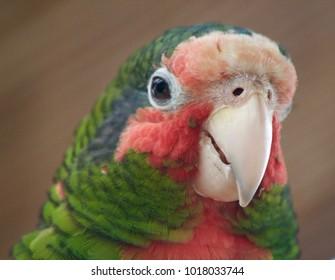 Cayman Parrot Close Up