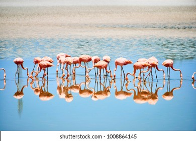 Cayo Guillermo, Cuba, JUL  20, 2017: Pink flamingos reflected in water in the Caribbean sea.