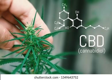 CBD cannabis formula. Cannabidiol molecule. Has antipsychotic effects. Medical hemp oil concept. Beautiful background green cannabis flowers copy space