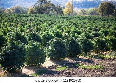 CBD Cannabis Hemp Field in Oregon USA