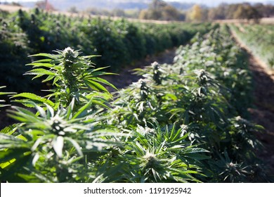 CBD Cannabis Hemp Field, Oregon USA