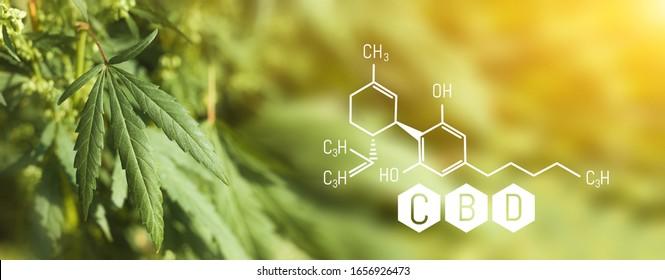 CBD Chemical Formula, Growing Marijuana, Cannabinoide und Gesundheit, medizinische Marihuana, CBD Elemente in Cannabis. Schöner Hintergrund grüner Cannabis-Blumen Ein Platz für Kopienraum
