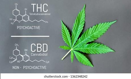 CBD THC Cannabis Formula. Structural model of cannabidiol and tetrahydrocannabinol molecule. Medicinal hemp CBD oil. Medical marijuana, despancery business, cannabinoids and health