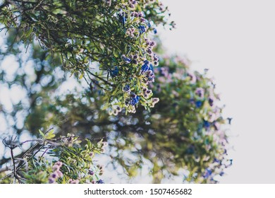 ceanothus tree with blue purple flowers in bloom shot at shallow depth of field