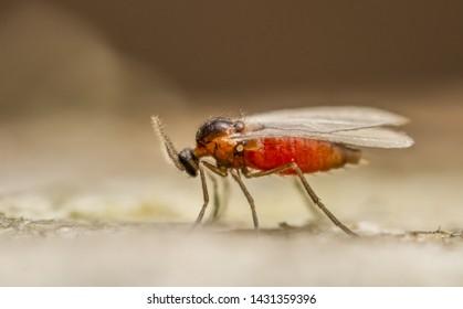 Cecidomyid gall gnat close up