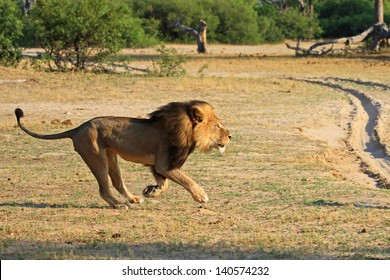 Cecil the Black maned Lion Running on the plains in Hwange National Park