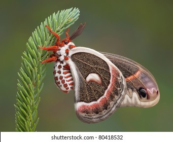 A cecropia moth is hanging on to a pine branch.