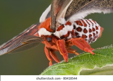 A cecropia moth is shown standing on a leaf close up.