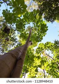 Cecropia trees viewed from below - Florianopolis, Brazil