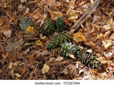 Cedar cones in the taiga. Primorye. Russia.