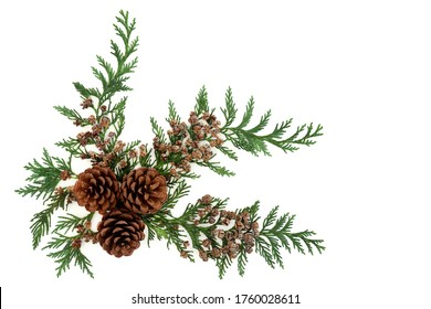 Cedar cypress leylandii evergreen leaves with pine cones on white background. Natural decorative element for winter, Christmas & New Year season. Flat lay, top view, copy space.