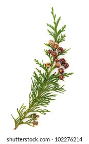 Cedar leaf branch with pine cones over white background.