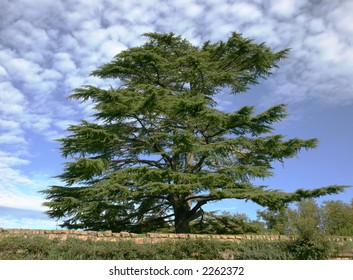 cedar of Lebanon against blue sky