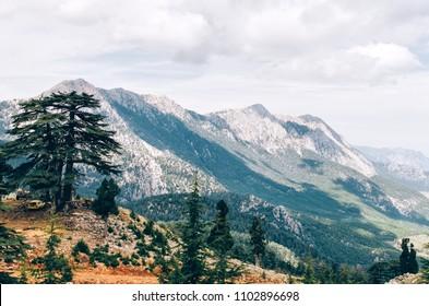 Cedar of Lebanon Cedrus in Tahtali mountain in Turkey.