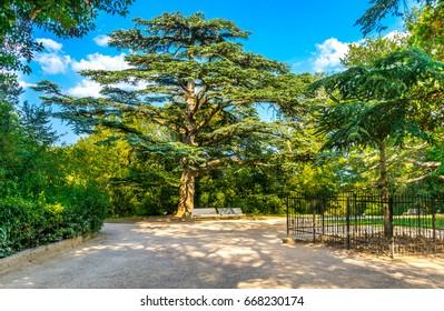 Cedar of Lebanon in a landscape park on the southern coast of the Crimea