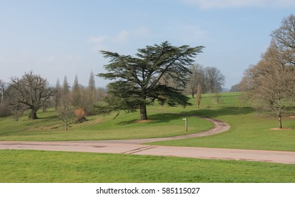 Cedar of Lebanon Tree (Cedrus libani) during Winter in Parkland near Tiverton in Rural Devon, England, UK