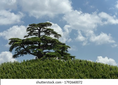 A cedar of lebanon in the vineyards under a blue sky with clouds. Langhe hills (Piedmont, Italy)