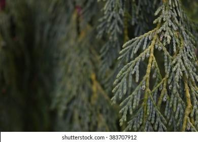Cedar Limb Landscape
