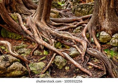 Cedar Roots on the Niagara Escarpment.