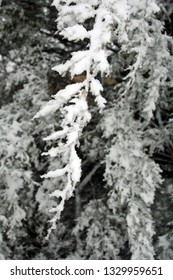 cedar tree branches covered in snow