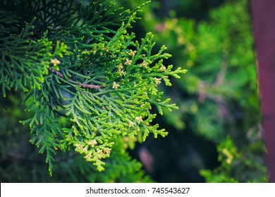 cedar tree, cedar tree, Chamaecyparis, common names cypress or false cypress  is a genus of conifers in the cypress family Cupressaceae,  The name is derived from the Greek khamai, meaning ground,