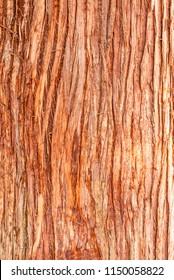 Cedar tree cortex texture. Bark of red cedar tree