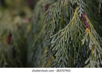 Cedar Tree Detail Landscape