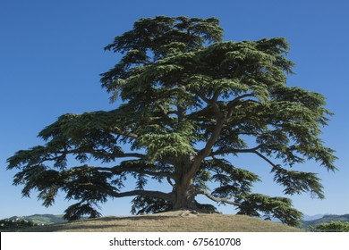 Cedar tree of Lebanon. A secular tree, symbol of la Morra