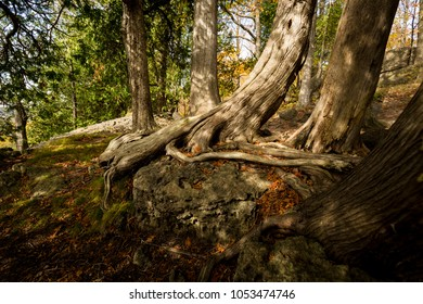Cedar tree roots found in the forest on the Niagara Escarpment.