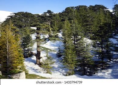 Cedar trees grove near Bsharri, Lebanon